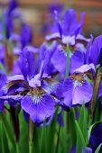 Bright and colorful Japanese Iris