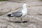 Gull Standing On Rock
