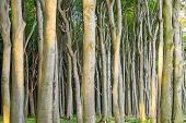 Dense beech tree forest
