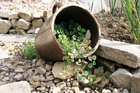 picture of catnip  - Eco-friendly, herbal formal garden backyard. Lying stoneware with Glechoma hederacea and catnip on the gravel path. ** Note: Shallow depth of field - JPG