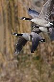 Canada Geese Flying Across The Autumn Woods