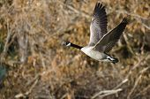 Canada Goose Flying Across The Autumn Woods
