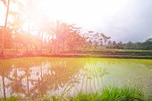 Nursery for young paddy seedling of Indonesia in the early morning light