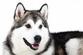 dog breed Alaskan Malamute on white background