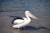 Pelican On The Coast Of Australia