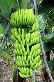 A banana tree with bananas