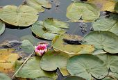 Flower Of Lotus With Leaves