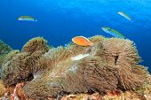 (Clownfish or Anemonefish) in anemone on coral reef