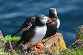 Pair pf  Puffins on a rock, Iceland