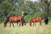 Horses At The Pasture In Summer