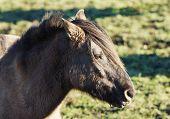 Beautiful Duelmer wild horse