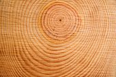 The Rings Of The Pine Tree