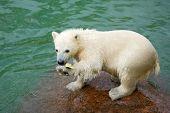 Funny polar bear cub and water-melon crust