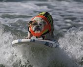 Surfing Bulldog