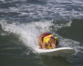 Surfing Golden Retriever