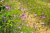 Wild purple flowers on sandy terrain near Danube river