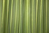 Phormium Leaf Background