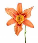 Lily Isolated On A White Background