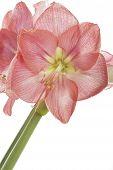 Pink Amaryllis flower closeup, isolated on white background
