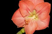 Pink Amaryllis flower closeup, isolated on black background