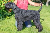 image of schnauzer  - Black Giant Schnauzer standing on a green lawn in front - JPG