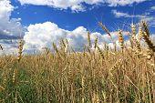 Mature Wheat Ears