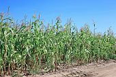 Young Corn Seedlings In The Field