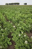 stock photo of potato-field  - Summer field with blooming potato in Omsk