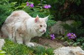 The Maine Coon, Also Known As American Longhair