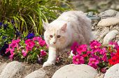 Maine Coon And Flowers