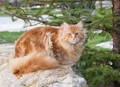 Red Maine Coon Cat On Rocks