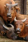 African forest buffaloes (Syncerus caffer nanus), also known as the red buffalo or dwarf buffalo.