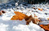 Large Sugar Maple Leaf Under Snow