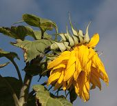 stock photo of sunflower  - Wilting Sunflower at the end of growing season.