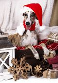 dog  whippet wearing a santa hat