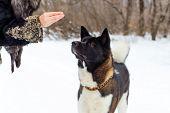 Female Hand Feeding A Dog Breed Akita