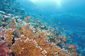 picture of fire coral  - coral reef with great yellow fire coral and fishes at the bottom of tropical sea - JPG