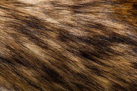 stock photo of raccoon  - raccoon fur - JPG