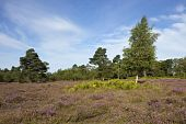 Landscape With Heather