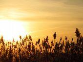 picture of bulrushes  - bulrushes against sunlight over sky background in sunset - JPG
