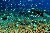 stock photo of school fish  - School of Small Fish over Hard Coral Reef South Ari Atoll Maldives - JPG
