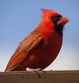 picture of cardinal-bird  - Bright red cardinal on a board on a stained brown deck with blue sky behind - JPG
