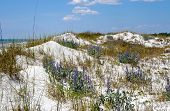 stock photo of sea oats  - Beautiful Sand Dunes Flowers and Sea Oats on the Florida Coastline - JPG