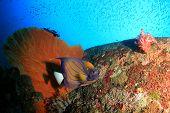 foto of angelfish  - Bluering Angelfish on coral reef - JPG