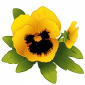 Golden Pansies