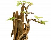 foto of bonsai  - Chinese green bonsai tree on white background - JPG