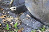 picture of giant lizard  - Lizard crawled on foot Aldabra giant tortoise - JPG