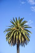 stock photo of wispy  - Single coconut palm against an azure blue sky with a few wispy clouds - JPG