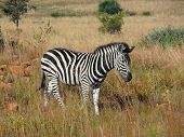 foto of grassland  - grassland scenery including a zebra in South Africa - JPG