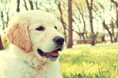 pic of golden retriever puppy  - Cute golden retriever puppy in the park at summer - JPG